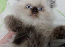 للبيع قطة هملايا هاف بيكي مستوى عالي