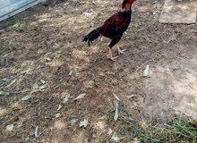 ديك ما شا الله عليه وزنه عن دجاجتين وصالح لضرابه ابا ابيعه او ابادل بديك ودجاجه