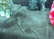 قطط شرازيه ذكار واناث