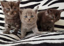 British kittens from pedigree parents