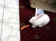 White cute Rabbit female sale