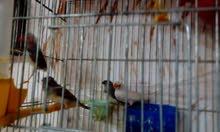 جوز طيور فنقز مشوشات مع 3 فراخ كبار وقفص