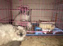 زوج قطط هملايا ذكر وانثى مع قطط صغيره عمرها اسبوعين تقريبا