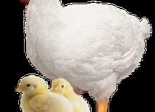 مطلوب دجاج لاحم عدد 4500