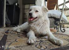 كلب نوع لولو فوكس
