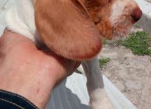 a vendre chiot de chasse femelle race pure braque saint germain âge 40 jours pri