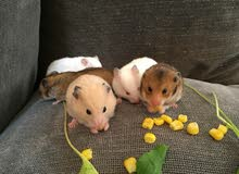 هامستار سوري  hamsters