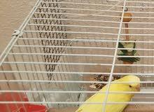 طائر بادجي لون اصفر نقي
