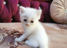 قطط شيرازيه اصل للبيع