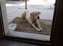 كلب لابرادور ذكر للبيع