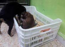 جرو روت وايلر عمر شهر ونص + جرو بيتبول شهر مخدين تطعيمات معاد كلب