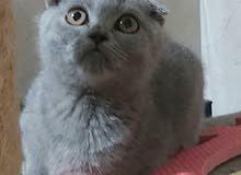 Scottish fold blue female kitten.  3 months old.  3000 aed