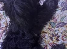 كلب زينه للبيع مكاني بصره الطويسه