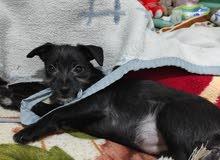 كلبة شيواوا 85 يوم