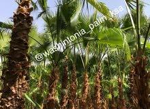 Mexican fan palm tree wholesaler 50 palm above ( Washingtonia tree)