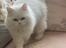 قطه للبيع شيرازيه