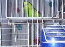عصافير بقالينو