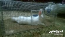 ارنب للبع