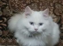 قطة للبيع شيرازى بيور اصلى العمر خمس شهور ذكر ب ياكل وكل البيت والدراى فود و متع