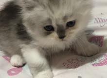 قطط شرازي انثى