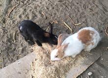ارانب عمانيه للبيع