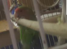 طائر روز اخضر رد فيس