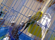 tamed budgies for sale