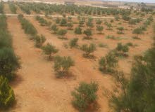 مزرعه 5هكتار كامله بها 1750زيتونه300مابين كرم ورمان+60نخله بأم مبروكة