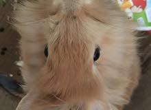 ذكر أرنب نوع رأس الأسد