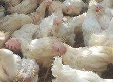 دجاج هولندي بياض
