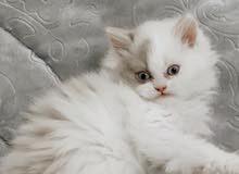 قطه نوعها برتش العمر شهرين