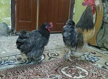 دجاج كوجن للبيع