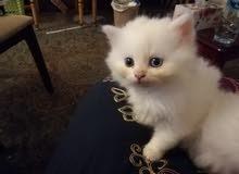 قط شيرازي عمر 30 يوم للبيع
