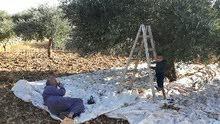 عائله اردنيه تبحث عن ارض زيتون