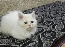 قطة بيرشن بيور