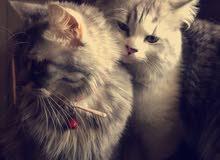 للبيع المستعجل قطة شيرازي أنثى و قط شيرازي أمريكي ذكر