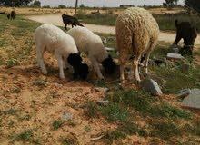 نعجه للبيع امتاومه خروفان سنه رباع + حوليه مش امبدله تبارك الله