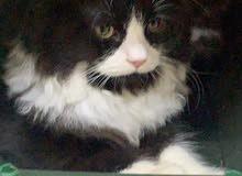 5 قطط شيرازي  للبيع