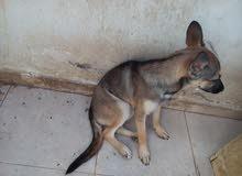 كلبين لا البيع كلب رت و كلب فرنسي لعوب