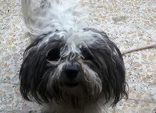 كلب فحل تيرير فرنسي واليف جدا ومدرب