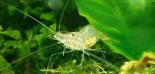 جمبري المياه العذبة ghost shrimp