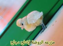 صيصان دجاج الزينة