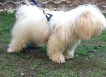 أريد كلب مثل هذا العنده يراسلني أريده 150