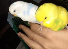 طيور حب ربوه