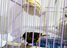 عصافير كنار زوج+طير حب طفرة لون ابيض