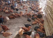 دجاج كروازي