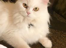 قطه شيرازيه فاخره لون ابيض قطه اليفه جدا