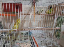 2 breeding Budgie pairs with cage