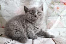 British short hair kitten available in dubai by european breeder