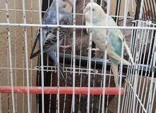 طيور بادجي للبيع الوان وسعر كويس